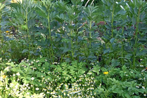 Mischkultur: Dicke Bohnen und Kartoffeln