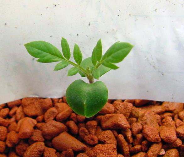 Ah, so sehen also kleine Jacaranda aus, wenn sie das erste richtige Blatt bekommen ;-)