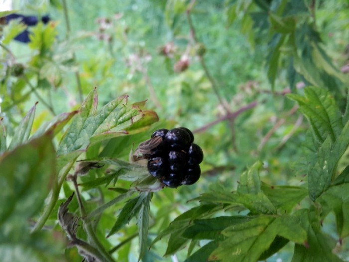 Brombeer, dornenlos, Sorten, 'Oregon thornless'