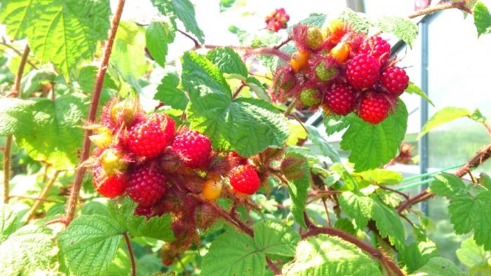 So schmeckt der Sommer: Weinbeeren sind reif