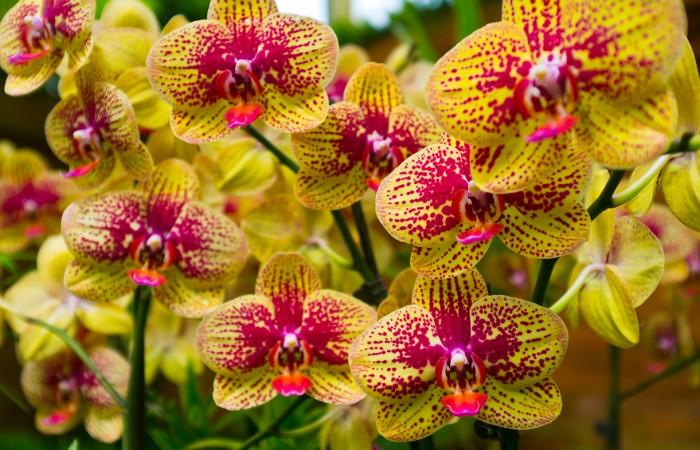 Deine Phalaenopsis bekommt unten gelbe Blätter? Da im Herbst alle Energie in die Blüten gesteckt wird verabschiedet sie sich so von alten Blättern. Also kein Grund zur Sorge.