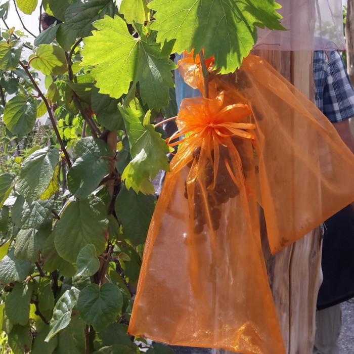 biologischer Pflanzenschutz, Tafeltrauben, Schutz vor Vogel- und Insektenfraß
