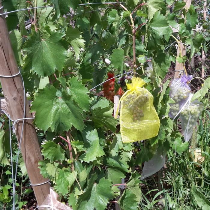 Foto: Christine Schonschek - Mit Oraganzebeuteln lassen sich Tafeltrauben vor Insekten und Vögeln schützen