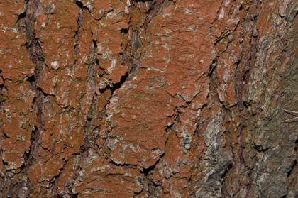 Rotbraune Fadenalge, auch eine Grünalge