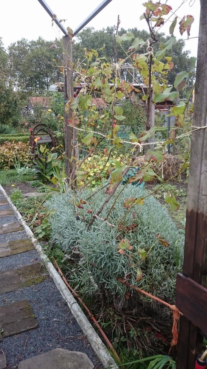 2 Pflanzen, die unbedingt beschnitten werden sollten: Der Lavendel, damit er in Form bleibt und der Wein, damit er nicht zu lange Ruten bildet.