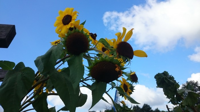 Selbstbedienungsvogelfutter-Spender: Sonnenblume