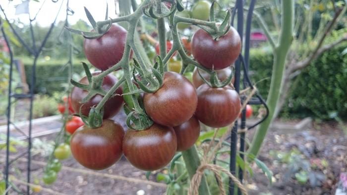 Alte Tomatensorte mit dunklen Früchten. sehr lecker und sortenrein