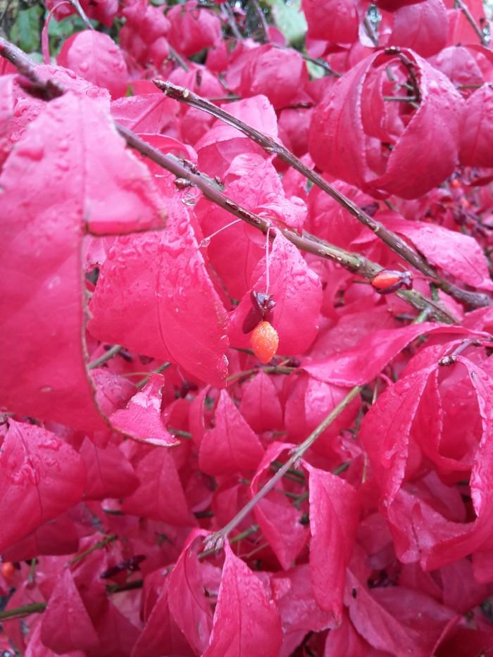 giftig, Pfaffenhütchen, Euonymus, Spindelstrauch, Herbstgarten, Rotes Laub, Bienenweide, Vogelnährgehölz,
