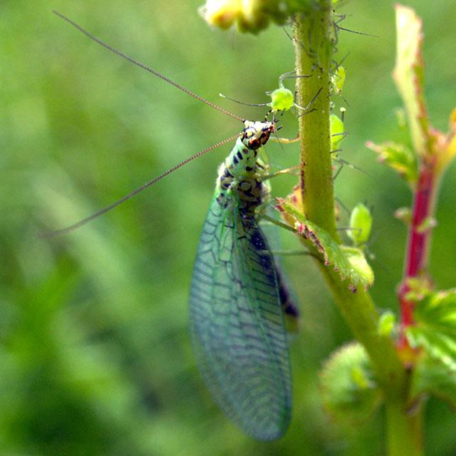 Die Florfliege hingegen liebt Blattläuse...