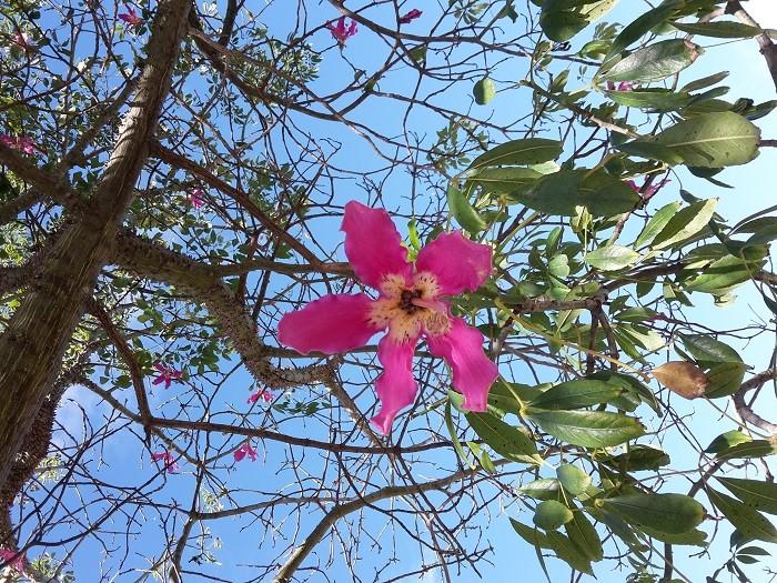 Blüte, Brasilianische Florettseidenbaum (Ceiba speciosa), Wollbaumgewächsen (Bombacaceae), Malvengewächse (Malvaceae)