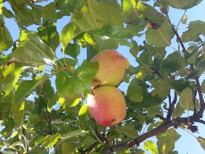 Düngen, Obstbaum, Obstgehölze