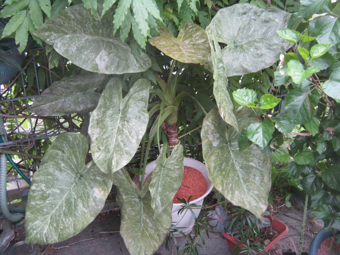 Alocasien und Colocasien sind waärmeliebende Schattenpflanzen, die tropisches Flair ins Zimmer zaubern