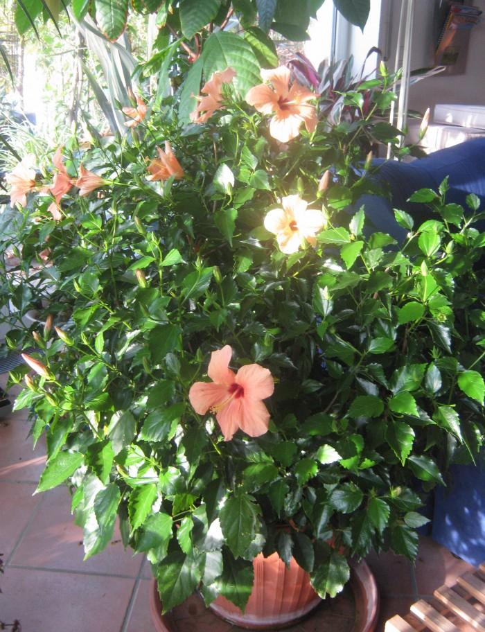 Je mehr Blätter desto mehr Verdunstung. Dieser Hibiskus benötigte pro Tag ca. 2-3 Liter Wasser.