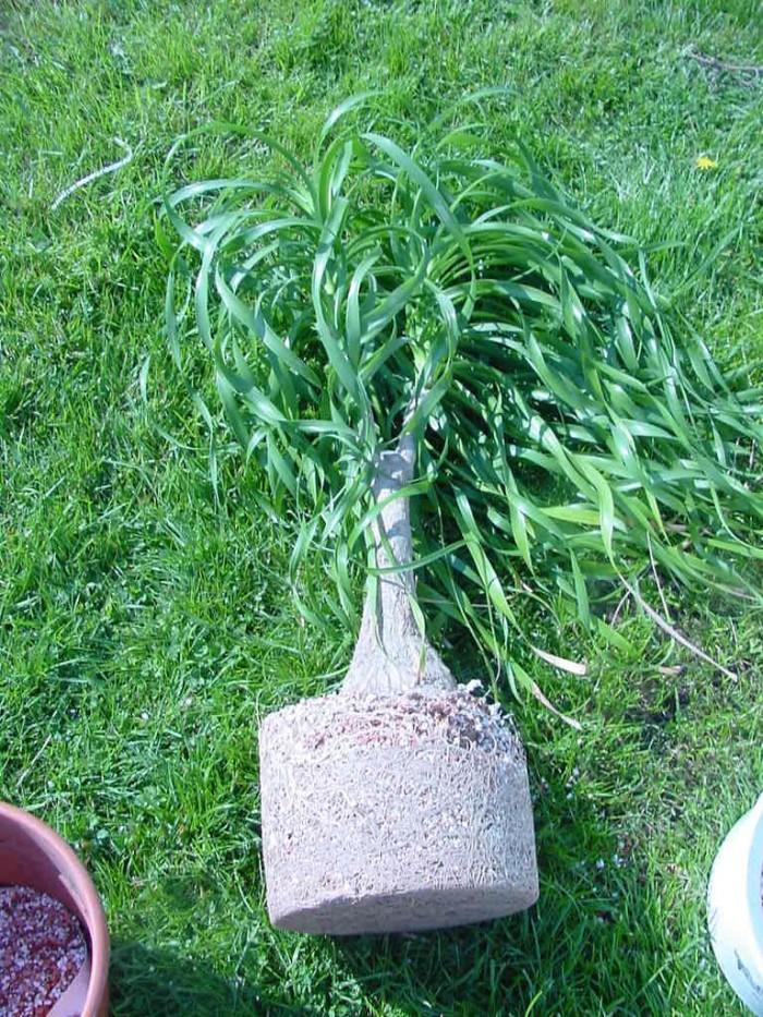 So sieht es aus, wenn eine Pflanze sich wohl fühlt und Umgetopft werden möchte