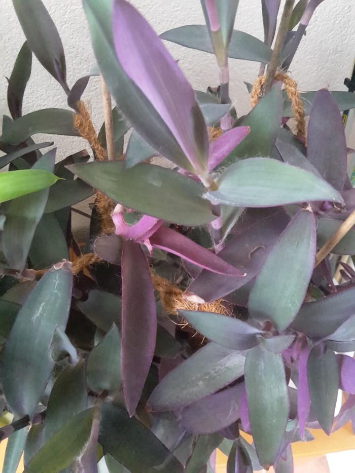Mexikanische Dreimasterblume