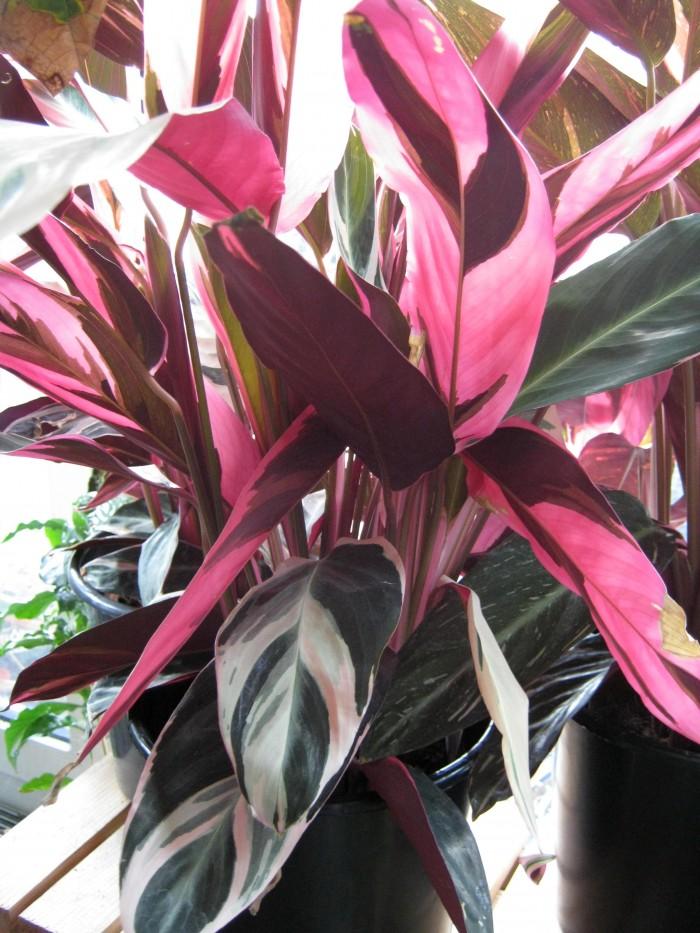 Kommt auch mit wenig Licht aus und bezaubert mit ihrem Farbespiel: Stromanthe sanguinea 'Triostar'