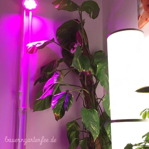 Eine Pflanzenlampe für den Scindapsus