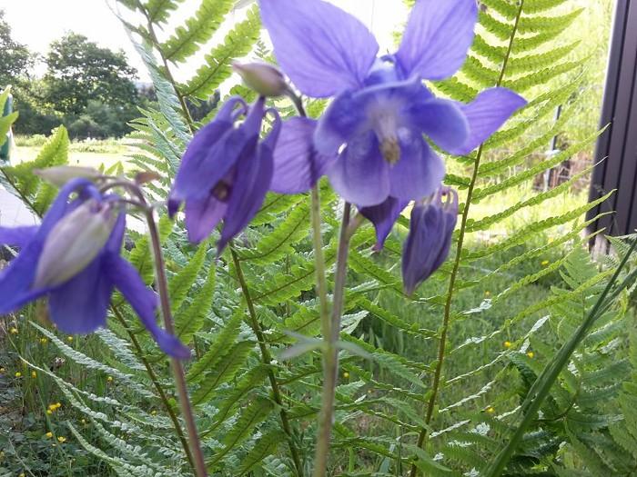 Schattenpflanzen, Farn, Akelei