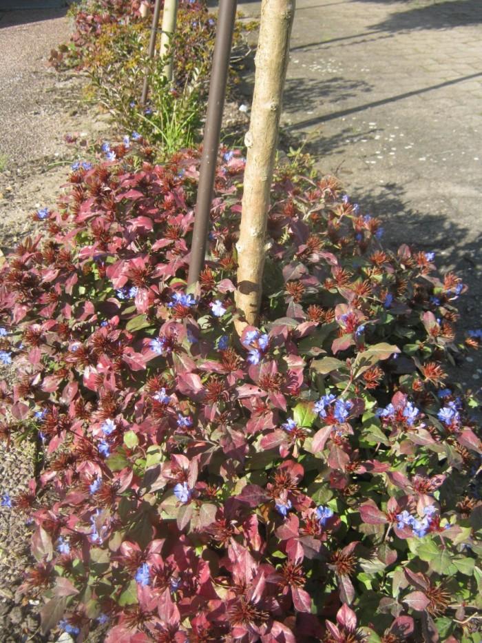 Ein superschöner Bodendecker mit toller Herbstfärbung: Chinesischer Bleiwurz/ Ceratostigma plumbaginoides