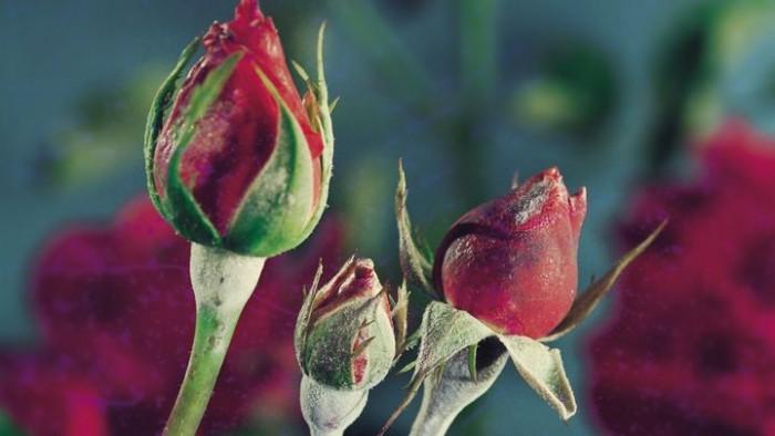 Echter Mehltau auf der Rose.