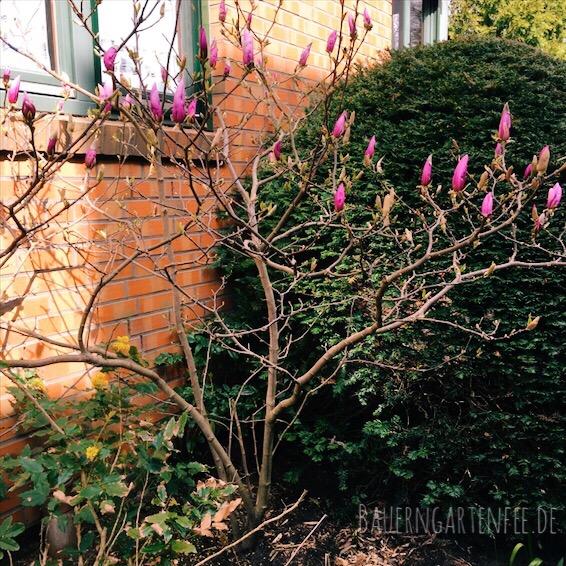 magnolie-s-h-bearb
