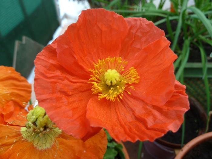 orangefarbene Blüten des Islandmohn