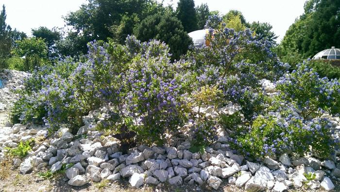 Die wunderschöne Säckelblumen Bepflanzung im Arboretum. (c) Foto: Fenja Schlegel