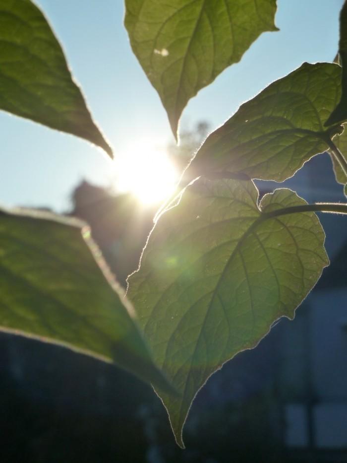 Das Licht der Abendsonne leuchtet durch die Blätter einer Physalis