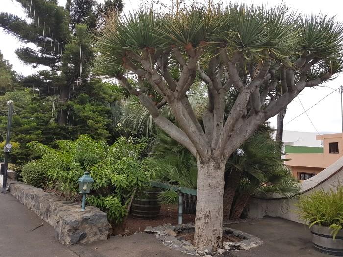 Drachenbaum, Teneriffa, Kanaren,