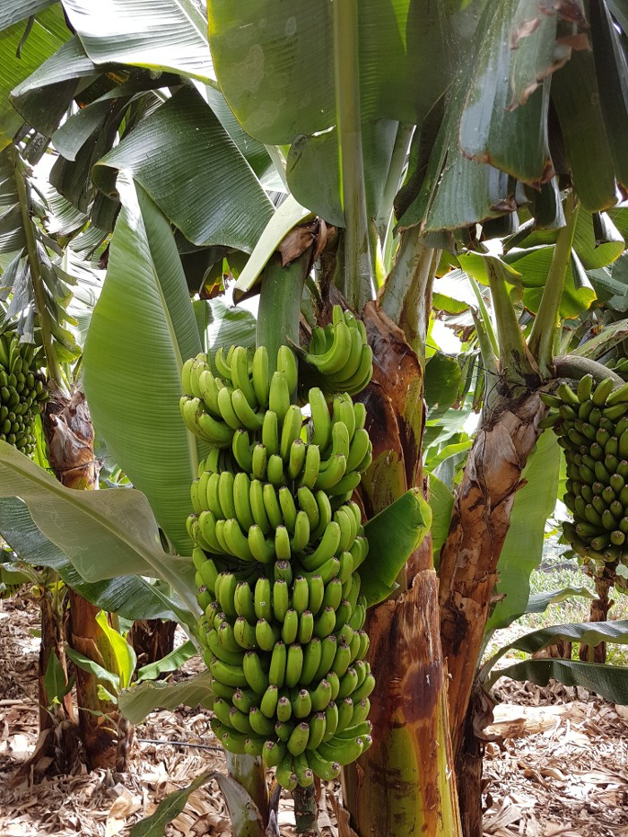Bananenstaude