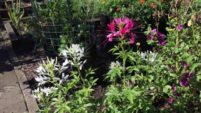 Und sie blühen und blühen...bis zum ersten Frost: Die Spinnenblumen/ Cleome spinosa