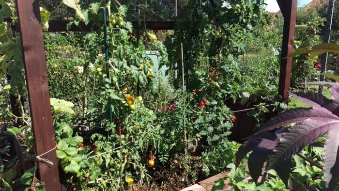 Trotz wenig Wasser (dafür aber gut gemulcht) gibts eine reiche Tomatenernte