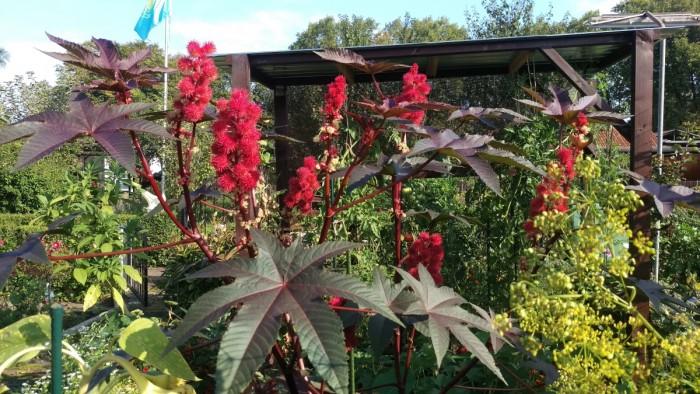 Eine meiner absoluten Wunsc hpflanzen. War gar nicht so einfach an Samen zu kommen: Roter Rizinus