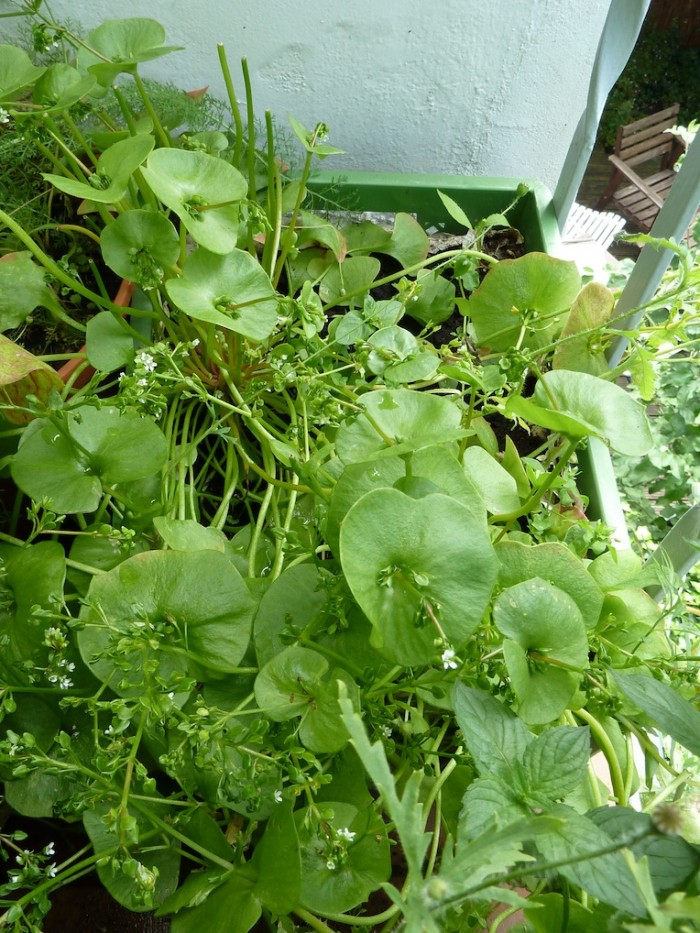 Winterpostelein in einer Gemüsekiste.
