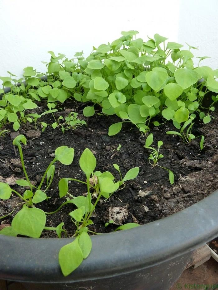 Einförmige Blätter: Jungpflanzen des des Gewöhnlichen Tellerkrauts in einem Kübel.