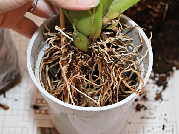 Die Wurzeln der Orchideen freuen sich im März über frisches Substrat, an dem sie im Frühjahr besonders gut und schnell fest wachsen können. Foto: J. Klepgen / www.orchideenfans.de