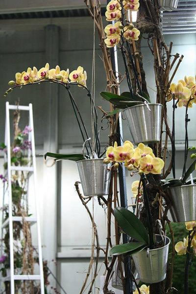 Phalaenopsis eignen sich zum Verschenken besonders gut - speziell für Anfänger siind sie bestens geeignet. Foto: J. Klepgen