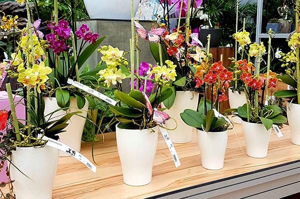 Voll blühende Orchideen animieren zum Kauf. Um lange Freude zu haben sollte man aber lieber zu knospigen Exemplaren greifen. Foto: J. Klepgen