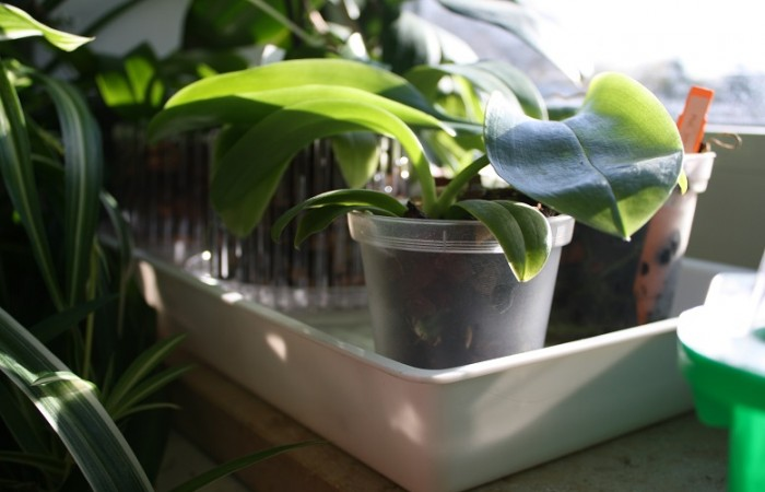 Fensterbankschalen sind ideal, um die Luftfeuchte rund um deine Orchideen zu erhöhen. Foto: www.orchideenfans.de / J. Klepgen