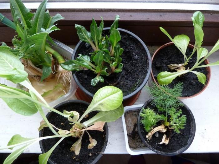 Gemüsereste kannst du einfach auf der Fensterbank nachwachsen lassen.