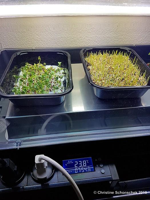 Microgreeen, Weizengras, Anzucht, Indoorgewächshaus