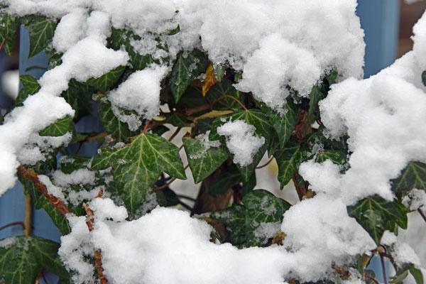 Efeu im Schnee