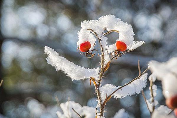 Hagebute im Schnee