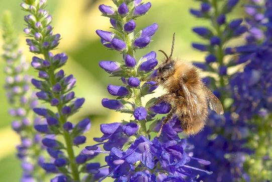 Blüten des Langblättigen Ehrenpreises sind nicht nur eine Augen-, sondern auch eine Bienenweide!