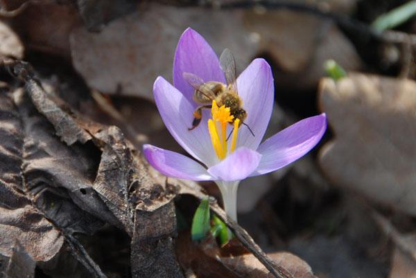 Krokusse sind eine der ersten Pollen-Quellen - Foto © Malgorzata Ackermann