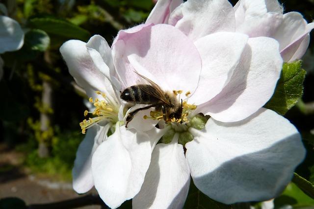 Apfelblüte: Haupttracht im Frühjahr - - Foto © Pixabay