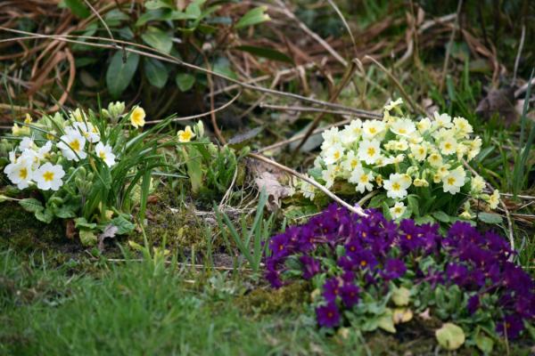Die Primeln in meinem Garten - Foto © Malgorzata Ackermann