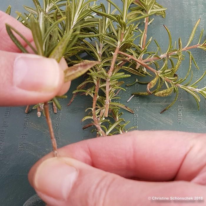 Rosmarin, Stecklinge, Vermehrung,