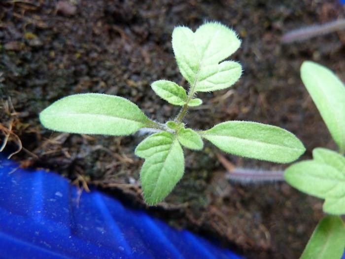 Tomatenblätter und Keimblätter