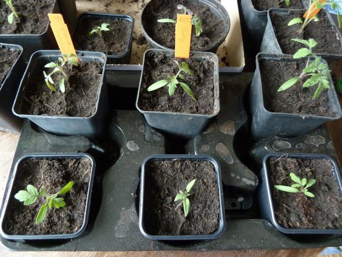 Auf einem Pflanzenträger lassen sich die Tomaten leicht transportieren. © Melanie Öhlenbach / Kistengrün